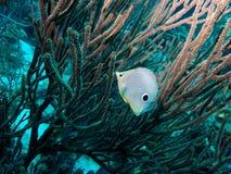 Butterflyfish de Foureye fotografía de archivo
