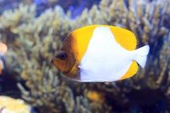 Butterflyfish de la pirámide Fotos de archivo libres de regalías