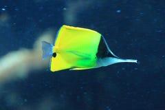Butterflyfish de pico largo Imágenes de archivo libres de regalías