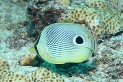 Butterflyfish de Spotfin Image libre de droits
