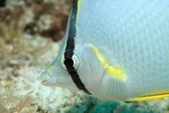 Butterflyfish de Spotfin imagenes de archivo