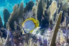 Butterflyfish de Spotfin fotografía de archivo