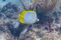 Butterflyfish de Spotfin sur Coral Reef images stock