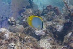 Butterflyfish de Spotfin sur Coral Reef photographie stock libre de droits