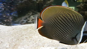 Butterflyfish in decorated Marine Aquarium. stock video footage