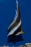 Butterflyfish del banderín de Threeband Imagenes de archivo