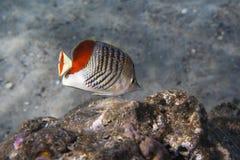 Butterflyfish del Redback - paucifasciatus di Chaetodon Fotografia Stock