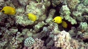Butterflyfish diagonaux de raton laveur de la Mer Rouge de Butterflyfish banque de vidéos