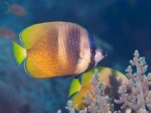 Butterflyfish do Sunburst foto de stock