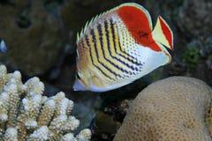 butterflyfish eritrean Στοκ Εικόνα