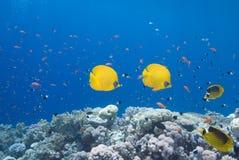 Butterflyfish et récif coralien Image libre de droits