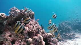 Butterflyfish floats over coral reef in Red Sea. Butterflyfish Butterfly fish  (Chaetodon fasciatus) floats over a coral reef in the Red Sea. Underwater sea stock video footage