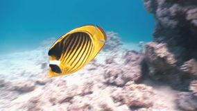 Butterflyfish floats over coral reef in Red Sea. stock video