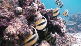 Butterflyfish floats over coral reef in Red Sea. stock video footage