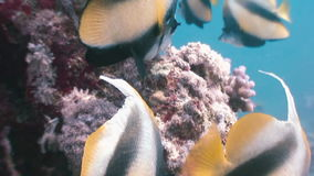 Butterflyfish floats over coral reef in Red Sea. Butterflyfish Butterfly fish  (Chaetodon fasciatus) floats over a coral reef in the Red Sea. Underwater sea stock footage
