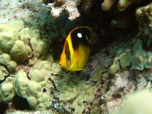 butterflyfish fourspot 图库摄影