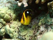 butterflyfish fourspot 图库摄影