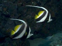 Butterflyfish - Heniouchus acuminatus Stock Images