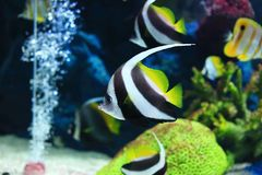 Butterflyfish Stock Image