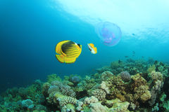 Butterflyfish and Jellyfish Stock Image