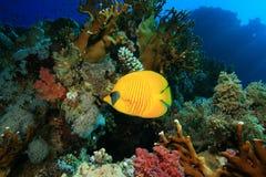 Butterflyfish mascarado Imagens de Stock Royalty Free