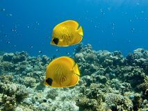 Butterflyfish mascarado Imagem de Stock Royalty Free