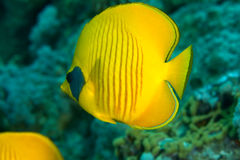 Butterflyfish mascarado fotografia de stock