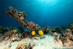 Butterflyfish mascarado. coral e oceano. imagem de stock