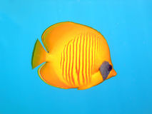 Butterflyfish masqué Image stock