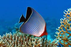 Butterflyfish met een kap Stock Fotografie