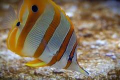Butterflyfish royalty-vrije stock fotografie