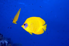 Butterflyfish and ocean Royalty Free Stock Photography