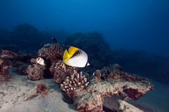 Butterflyfish and ocean Stock Image