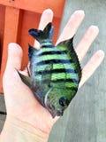 Butterflyfish op hand Stock Foto