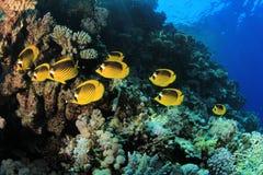 Butterflyfish op Koraalrif stock foto's