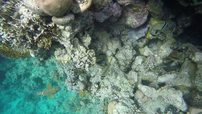 Butterflyfish and other fish swim near the reef stock footage