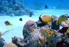 Butterflyfish oval en coral Imagenes de archivo