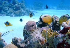 Butterflyfish oval no coral imagens de stock