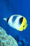 Butterflyfish Papuá-Nova Guiné Fotografia de Stock Royalty Free