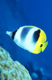 Butterflyfish Papua New Guinea. A Butterflyfish swims up along a coral reef in the warm and clear waters of Papua New Guinea Royalty Free Stock Photography