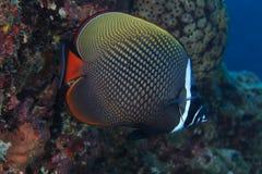 Butterflyfish Redtail Стоковое Фото