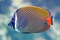 Butterflyfish Redtail (collare Chaetodon) Стоковые Фотографии RF