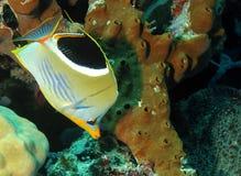 Butterflyfish sellato Immagini Stock