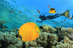 Butterflyfish and Snorkeler Royalty Free Stock Photos