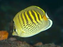 Butterflyfish Spotband Стоковое Изображение RF