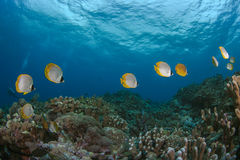 Butterflyfish stream across coral reef Royalty Free Stock Photos