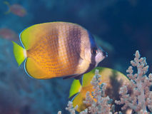 Butterflyfish Sunburst стоковое фото