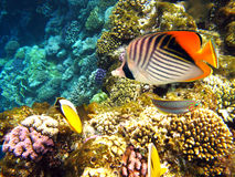 butterflyfish threadfin Στοκ φωτογραφία με δικαίωμα ελεύθερης χρήσης