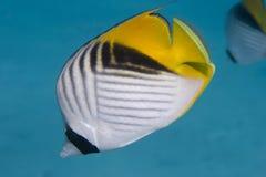butterflyfish threadfin Zdjęcia Stock