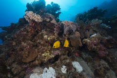 Butterflyfish and tropical reef in the Red Sea. Royalty Free Stock Image